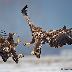 White Tailed Eagles interacting...
