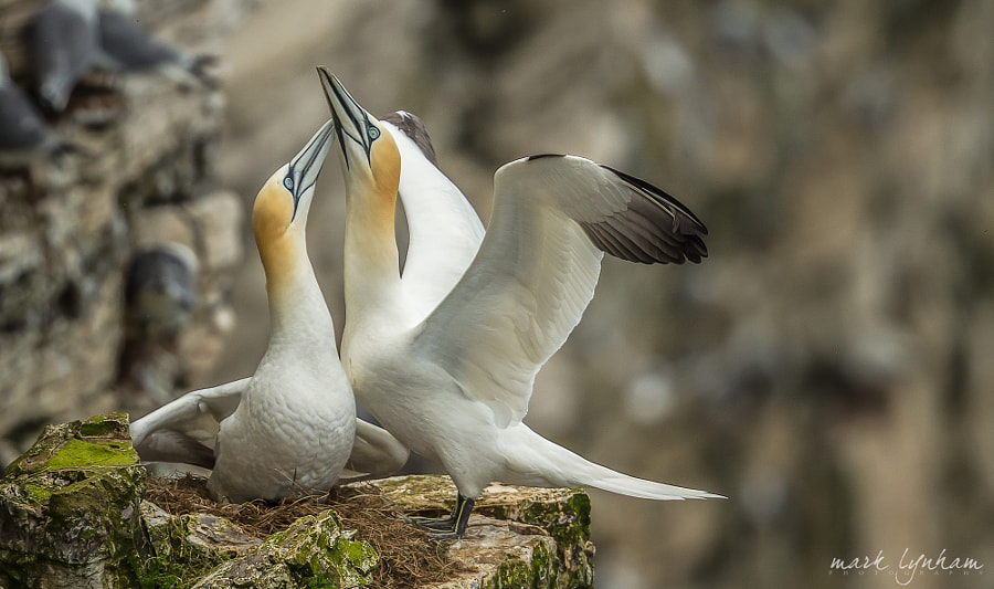 courting Gannets.. by Mark Lynham on 500px.com