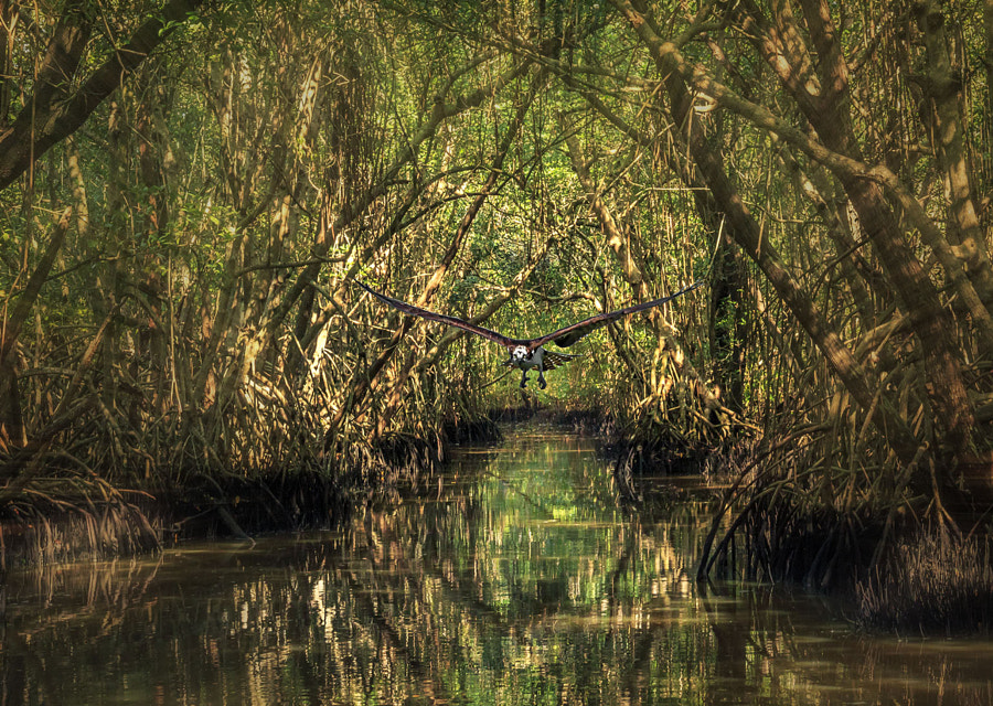 Photograph swamp canal with osprey by Sterling Lanier on 500px