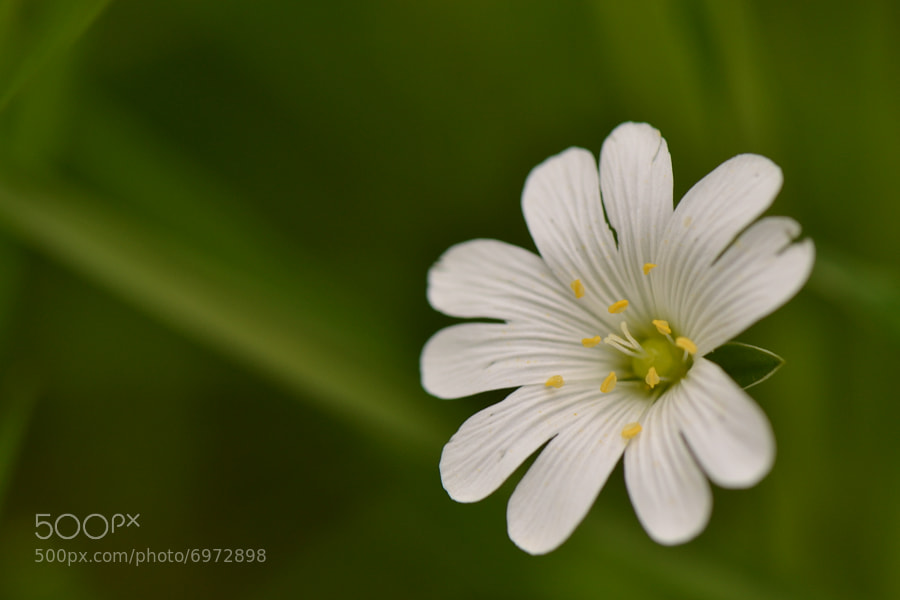 Photograph Little Flower  by Janis (www.nikenich-fotografie.de) on 500px