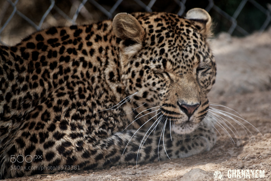 Photograph Sleep Leopard  by jamil ghanayem on 500px