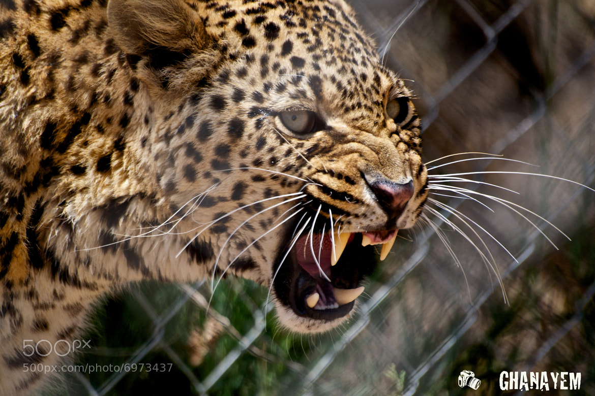 Photograph Fighting Leopard  by jamil ghanayem on 500px