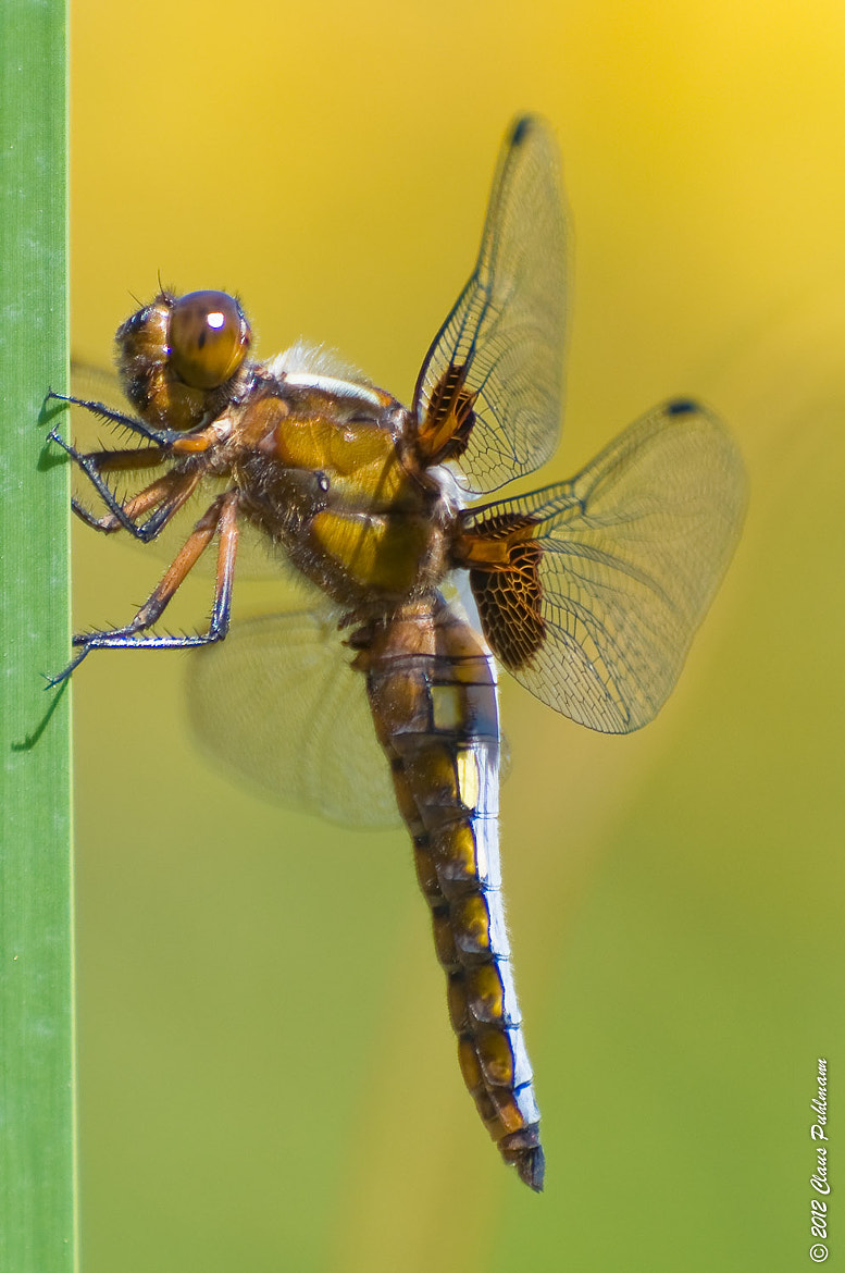 Photograph Broad-bodied Chaser by Claus Puhlmann on 500px