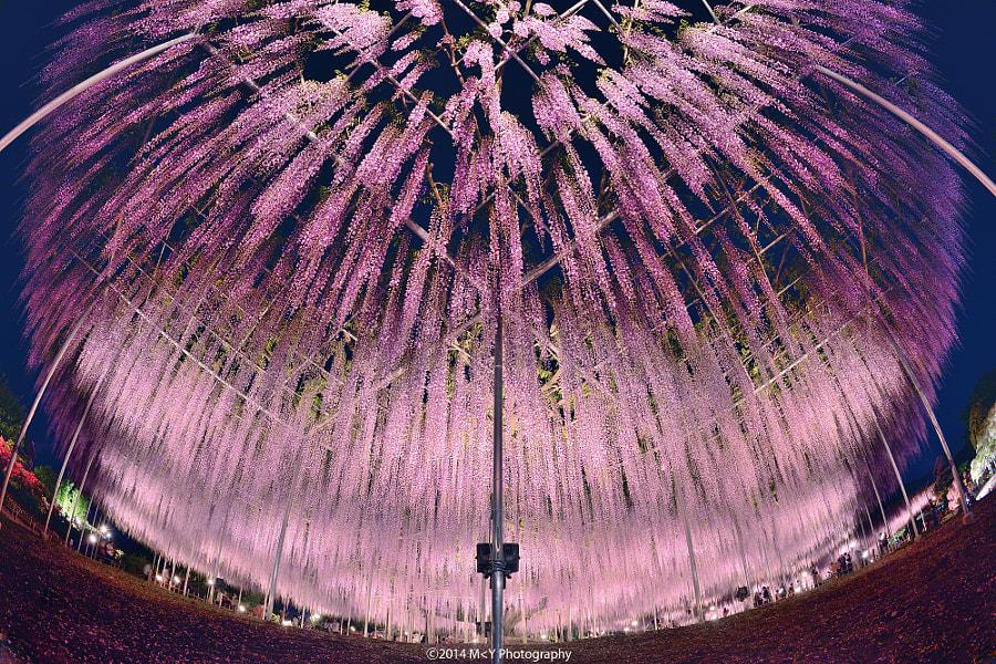 Árbol de wisteria en Japón