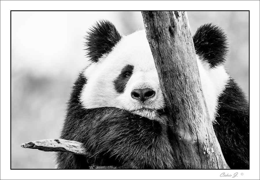 Photograph Panda by Cedric Jacquet on 500px