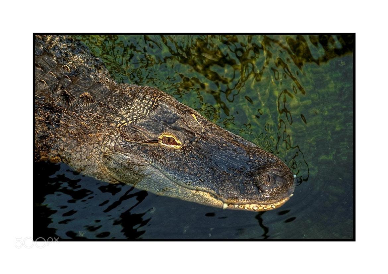 Photograph Crocodile du Nil - HDR by Franck VAN DE WALLE on 500px