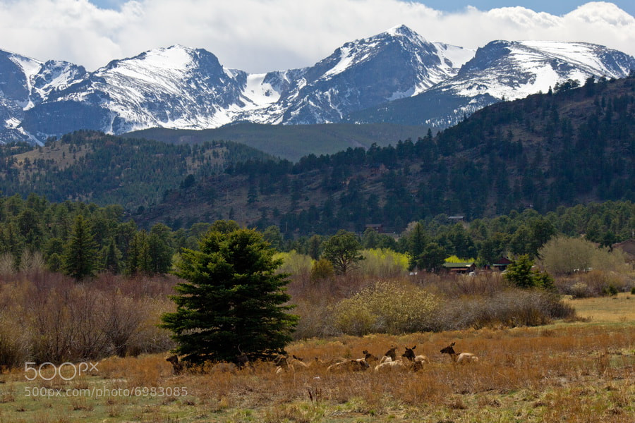 Photograph Elk Herd Rest by the Rockies by Mike Oberg on 500px