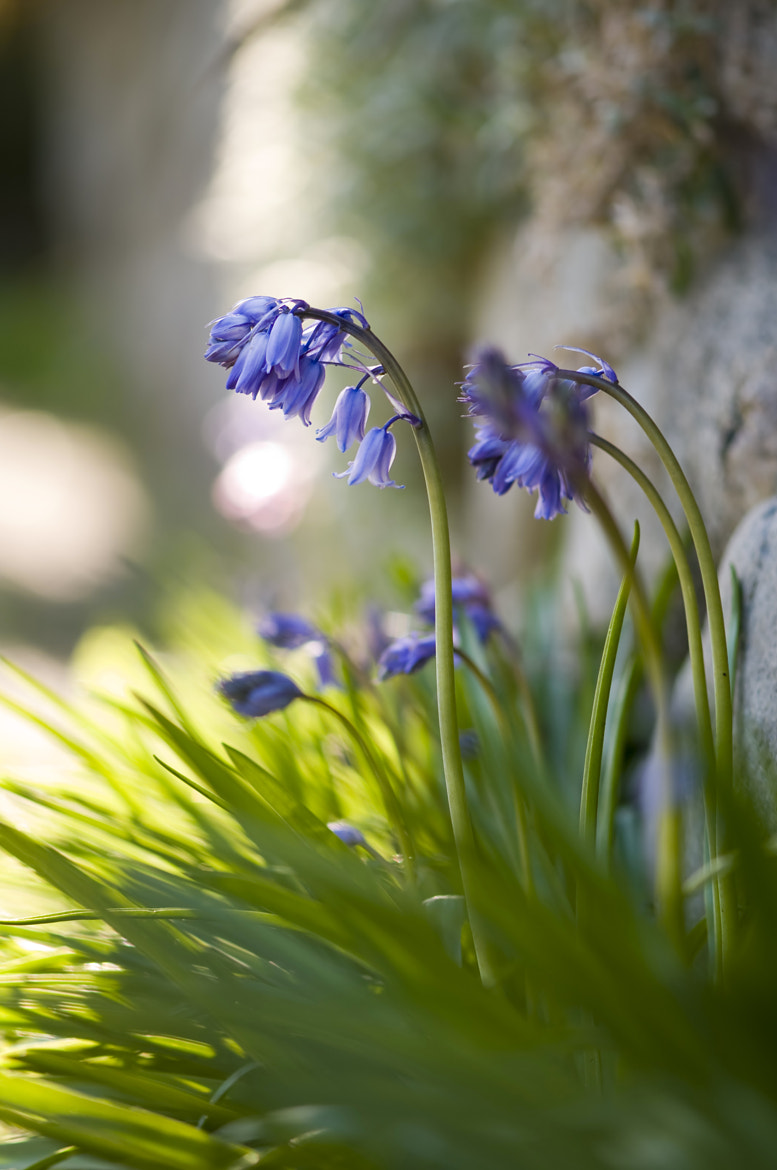 Photograph Bluebells by Martin Cooper on 500px