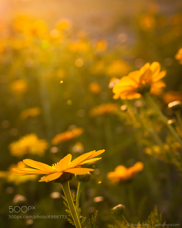 Photograph Yellow flowers reaching for yellow light by Ignacio Soto on 500px
