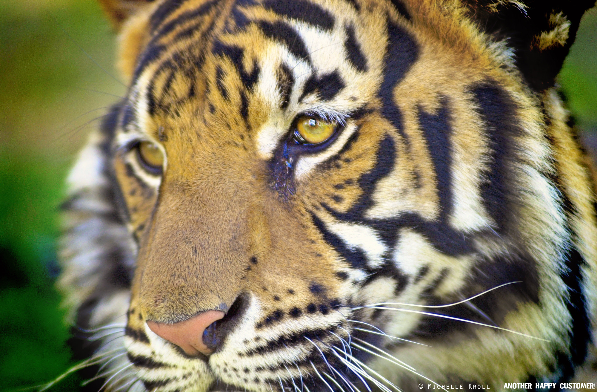 Photograph Tiger Tiger burning bright by Michelle Kroll on 500px