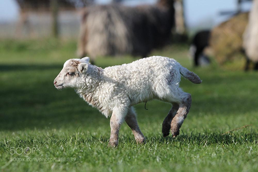 Photograph Lambing season by Mathias Ahrens on 500px