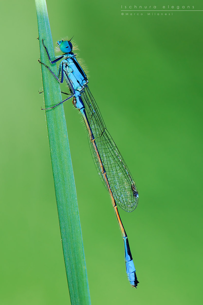 Photograph Ischnura elegans by Marco Milanesi on 500px