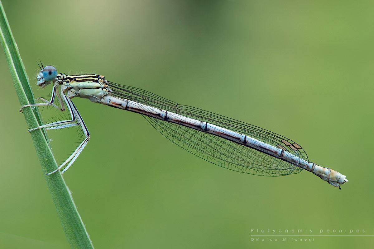 Photograph Platycnemis pennipes by Marco Milanesi on 500px