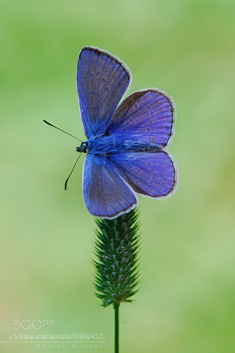 Photograph Poliommatus icarus by Marco Milanesi on 500px