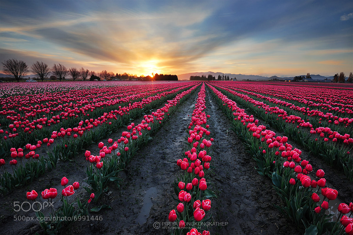 Photograph Tulip field by Piriya Wongkongkathep on 500px