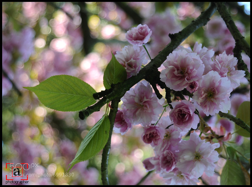 Photograph Pink Blossom Trees by aisha mohammed on 500px