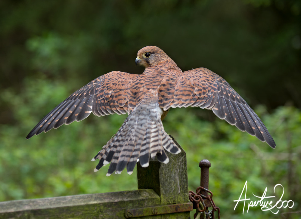 Photograph Female Kestrel by Colin Carter on 500px