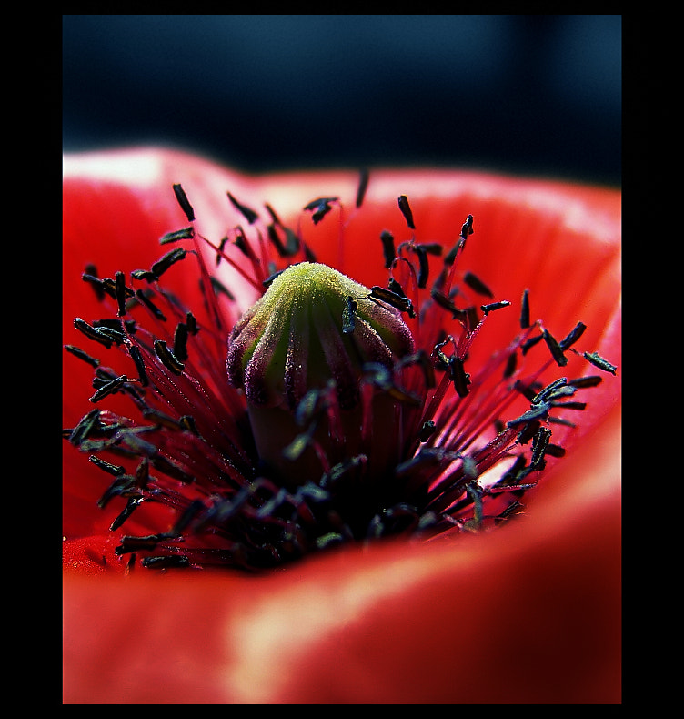 Photograph Poppy Life  by EMERALD WAKE © on 500px