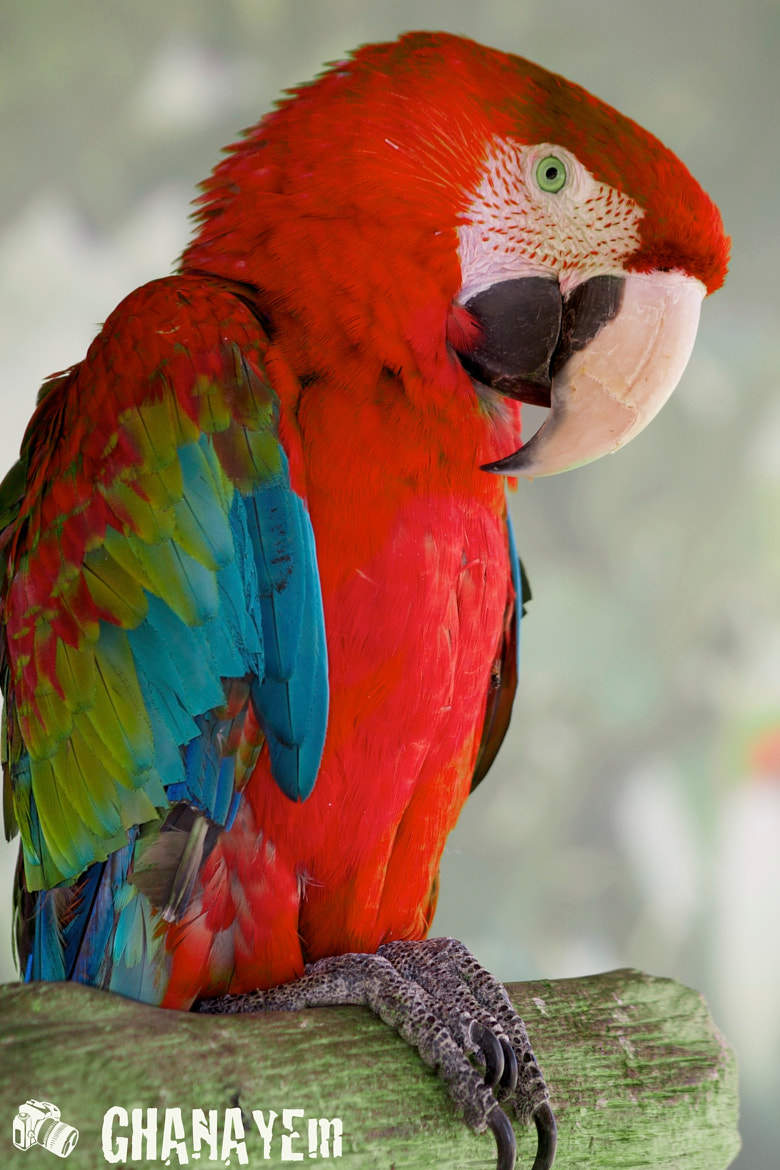 Photograph PARROT  by jamil ghanayem on 500px