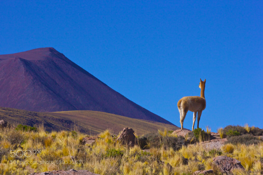 Vicuña is one of two wild South American camelids which live in the high alpine areas of the Andes; the other being the guanaco.