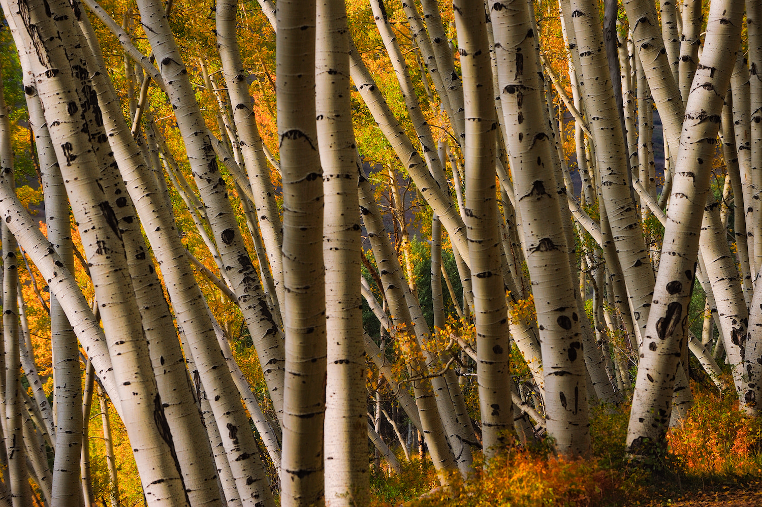 Photograph Aspen Maze by Shane McDermott on 500px