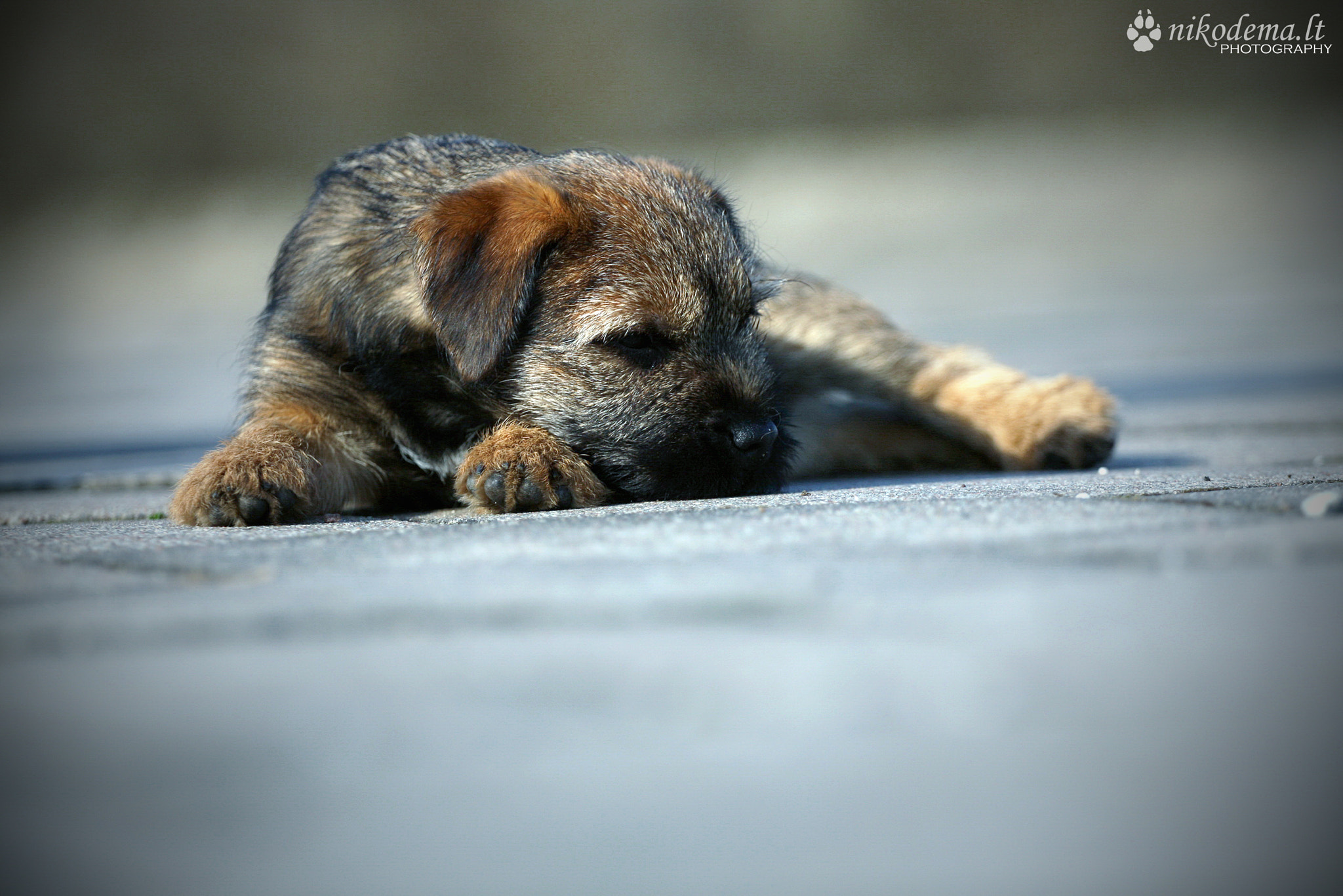 Photograph Border Terrier puppy by Sandra (Nikodema) on 500px