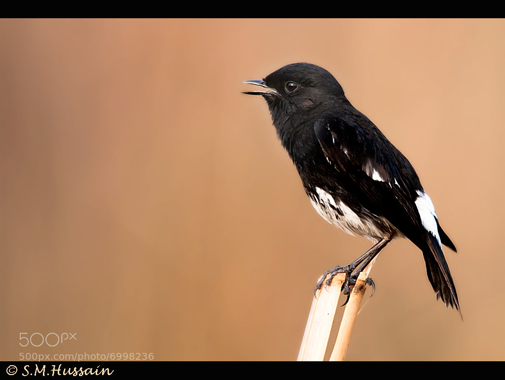 Photograph Pied Bushchat by Masood Hussain on 500px