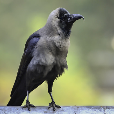Crooked Beak Crow