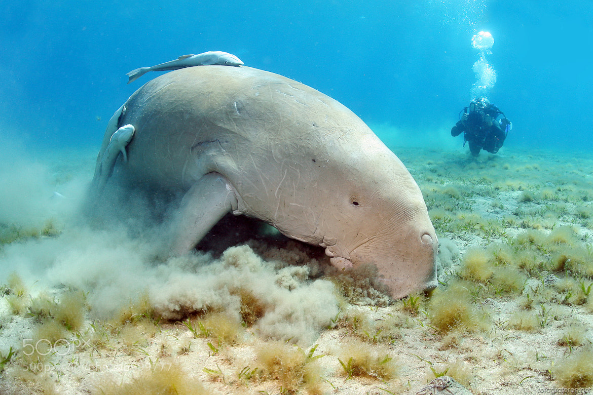 Photograph Dugong Dennis by Rutger Geerling on 500px