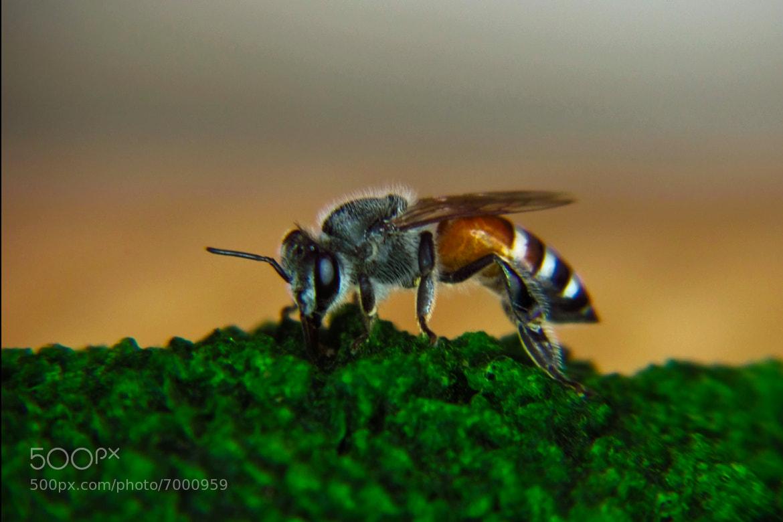 Photograph honey bee by Nauzer Kasad on 500px