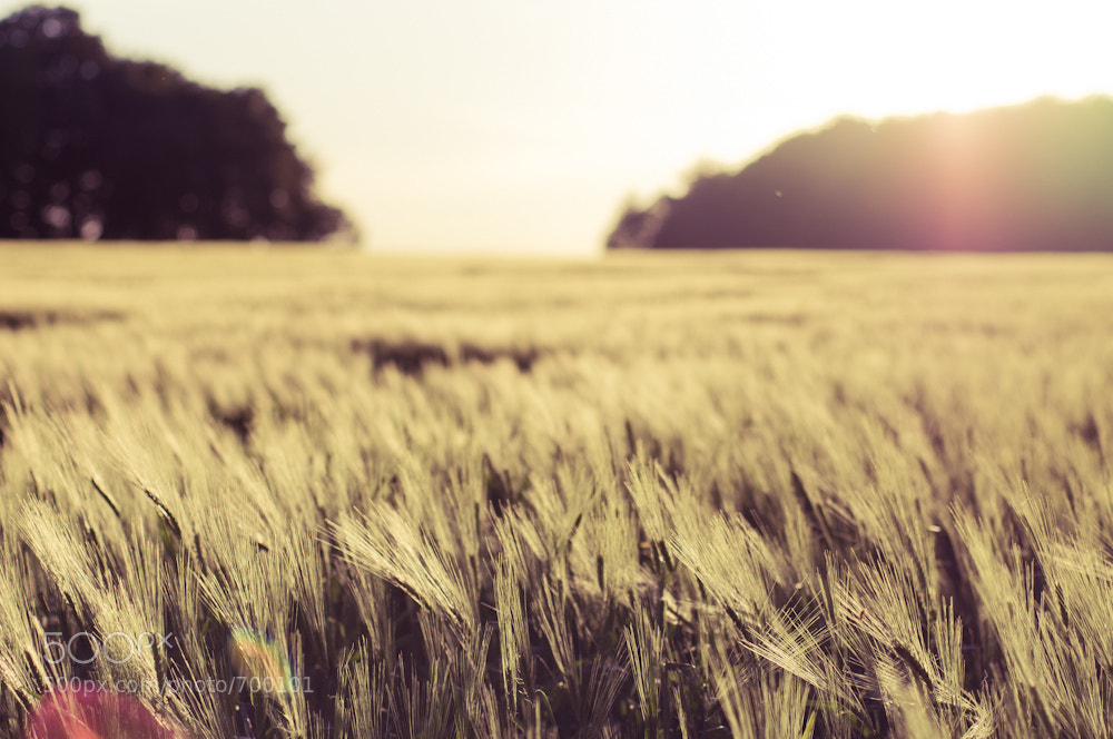 Photograph Golden Field by Kai Rauer on 500px