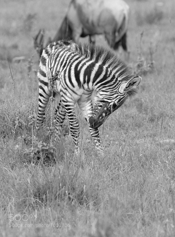 Photograph Zebra Foal by Dean Tatooles on 500px