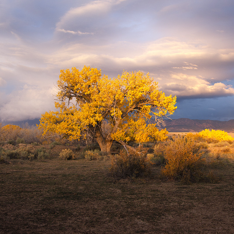 Photograph gold tree by Andrew Meilstrup on 500px