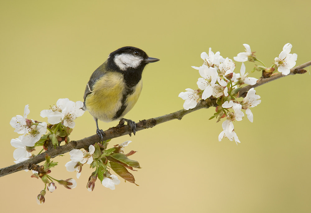 Photograph Great Tit by Geoffrey Baker on 500px