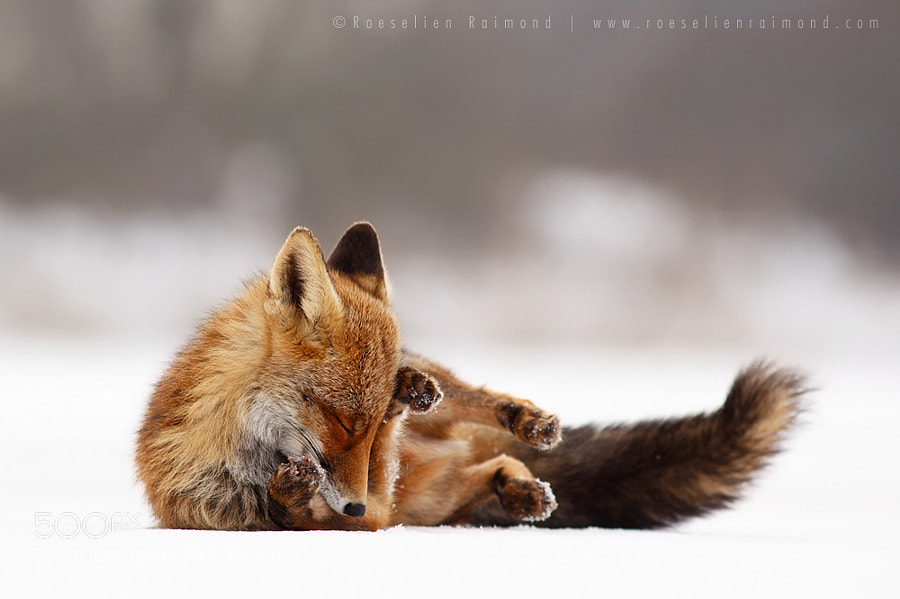 Photograph Comfortably Fox by Roeselien Raimond on 500px
