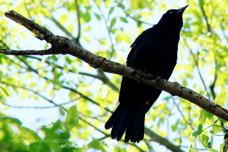 Photograph Common Grackle by Jeff Carter on 500px