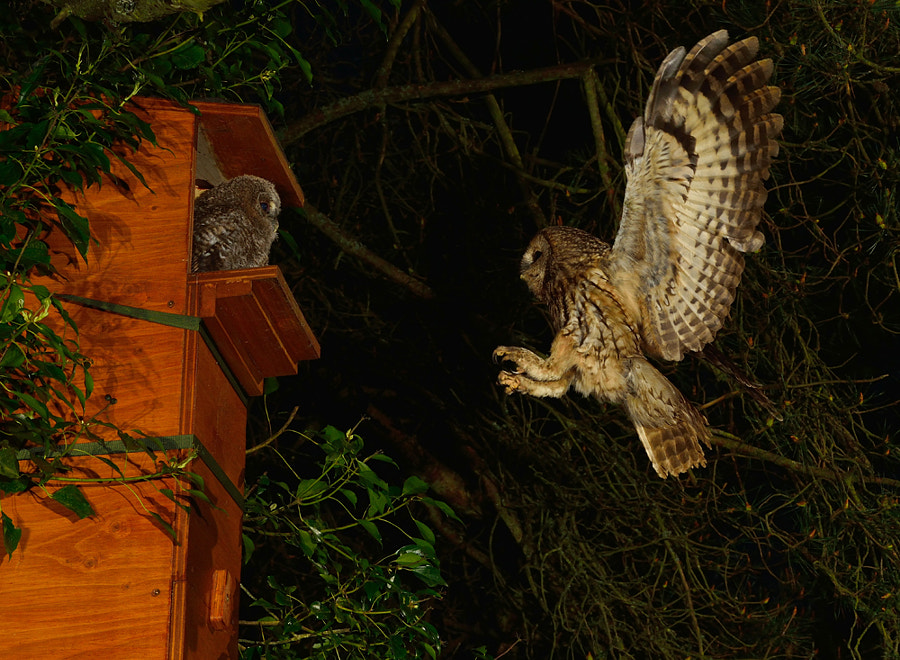 Tawny Owl heading to nest box