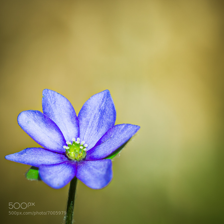 Photograph Anemone hepatica by Michael Mährlein on 500px