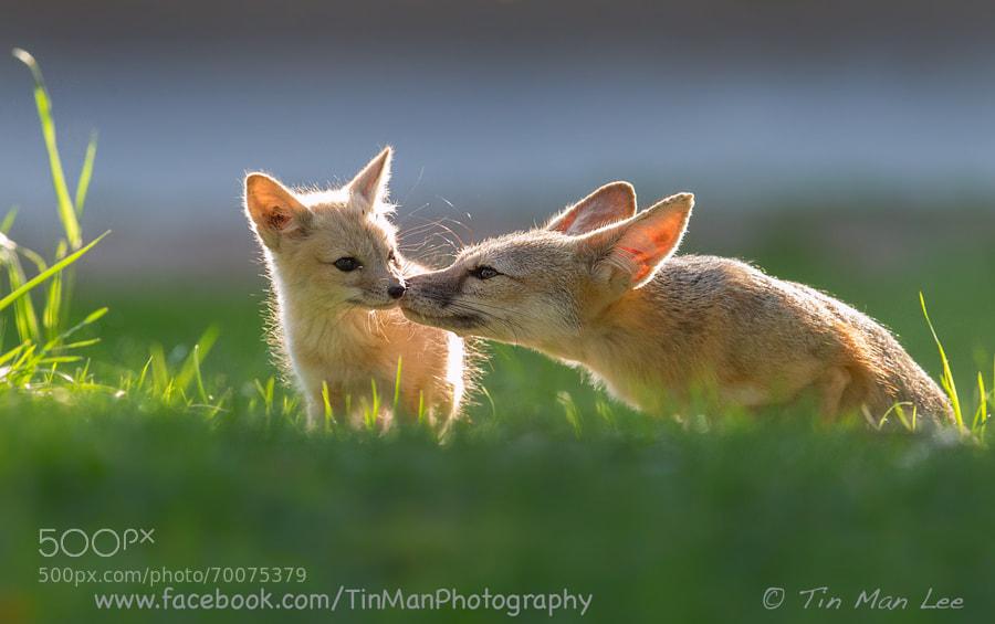 Happy Mother's Day (Endangered SJ Kit Fox)