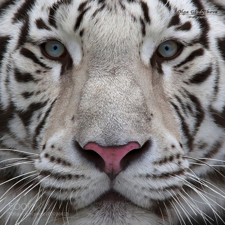 Interest in eyes of a young white bengal tiger. Closeup portrait