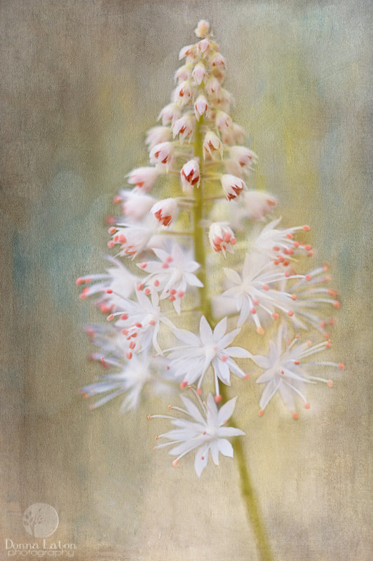 Photograph Foamflower by Donna Eaton on 500px