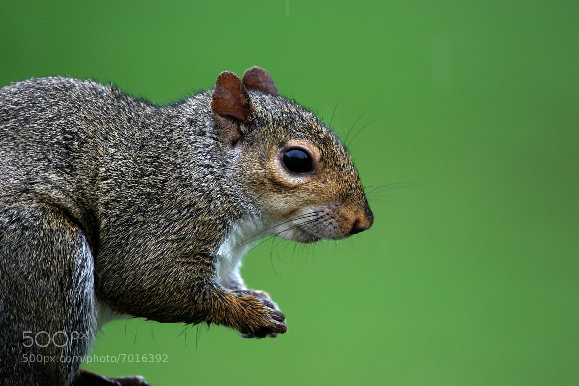 Photograph Mr. Squirrel  by Rusty Wood on 500px