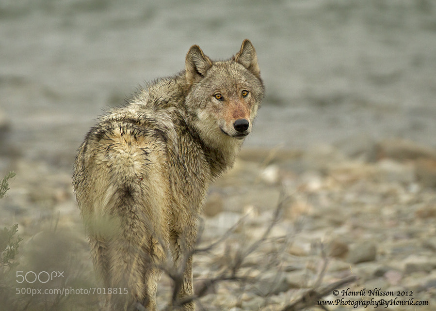Photograph A Glaring Look (Wolf) by Henrik Nilsson on 500px