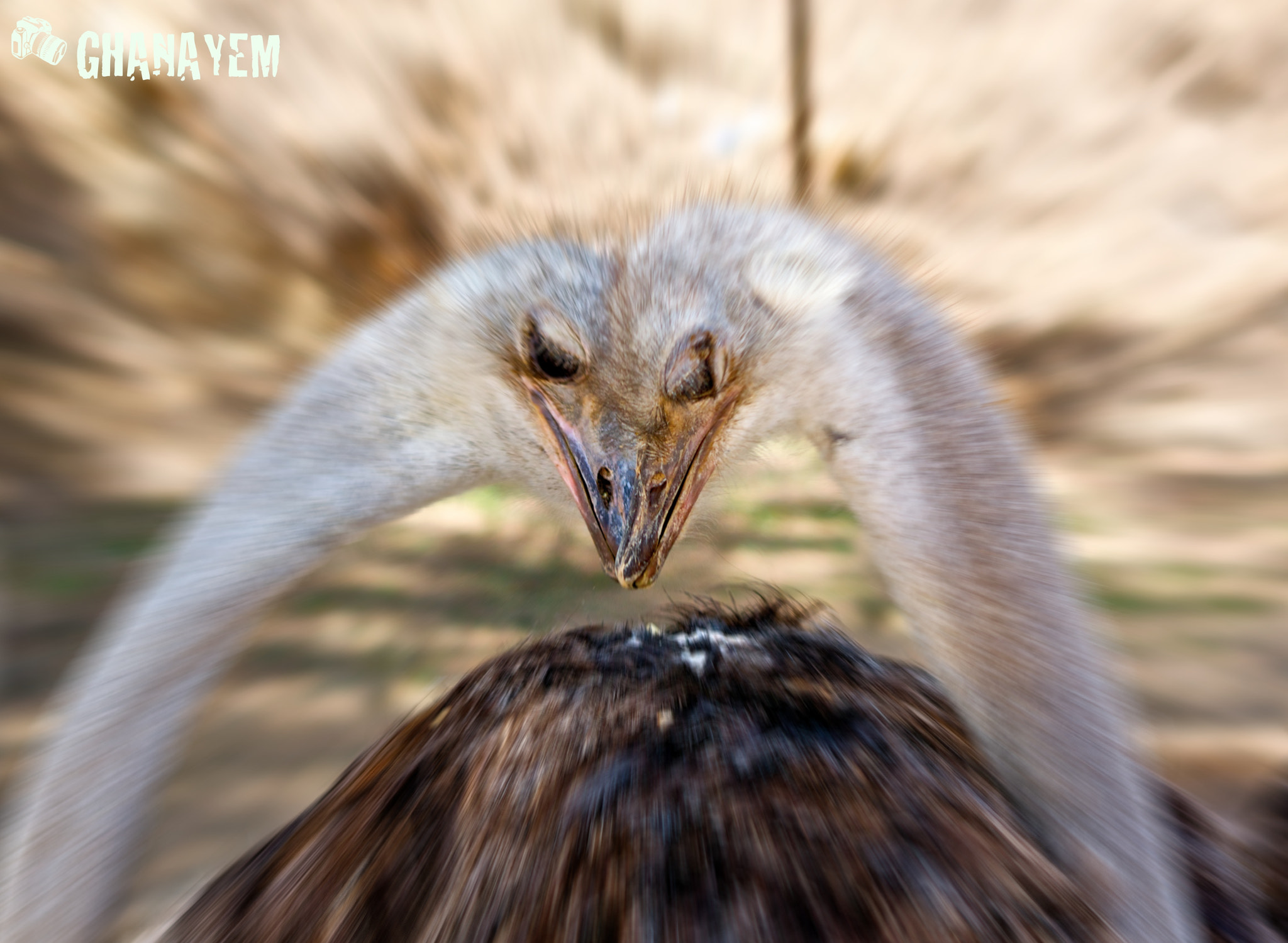 Photograph Ostrich in Love by jamil ghanayem on 500px
