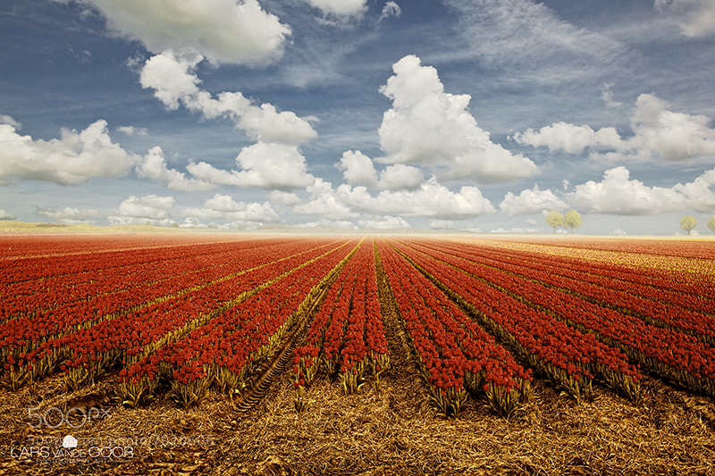 Photograph Tulips and Clouds rld by Lars van de Goor on 500px