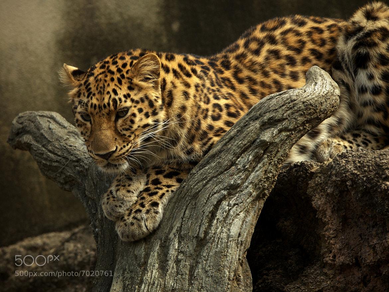 Photograph Leopard by Tashi_Delek Nakata on 500px