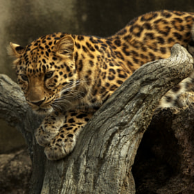 Leopard by Tashi Delek (the22row)) on 500px.com