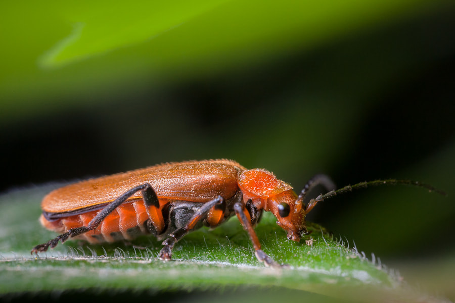 Photograph Soldier Beetle by Stavros Markopoulos on 500px
