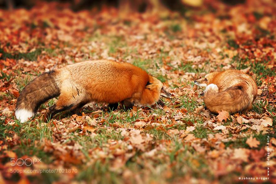 Photograph fighting foxes by Johnny Krüger on 500px