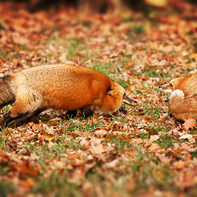 fighting foxes by Johnny Krüger (johnpull)) on 500px.com